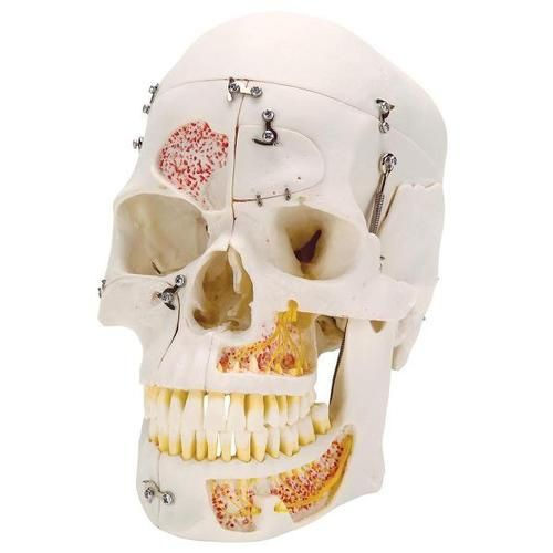 Deluxe Human Demonstration Dental Skull Model