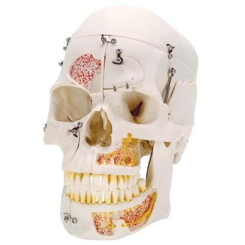 Deluxe Human Demonstration Dental Skull Model