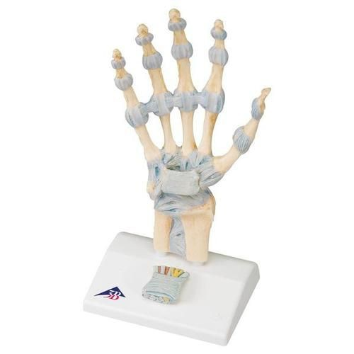 Hand Skeleton Model w/Ligaments, Muscles, Tendons