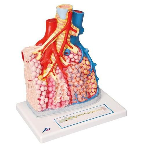 Pulmonary Lobule Lung Model