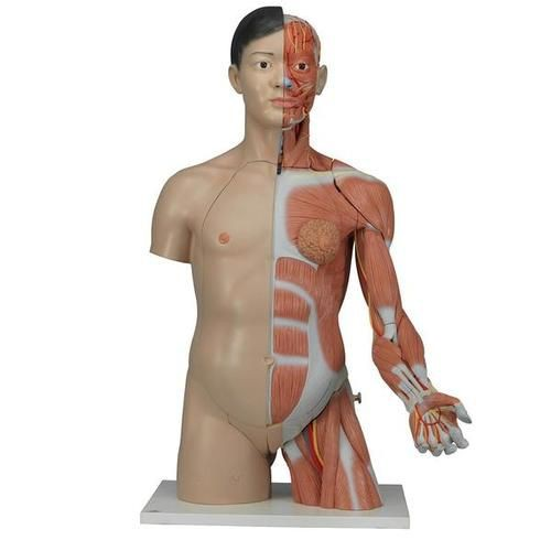 Life-Size Asian Dual Sex Torso with Muscular Arm