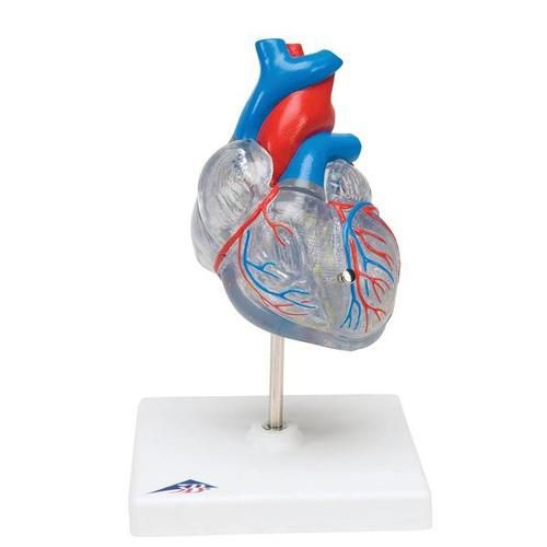 Classic Heart with Conducting System Model