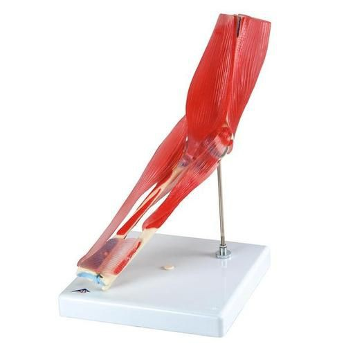 Elbow Joint with Removable Muscles