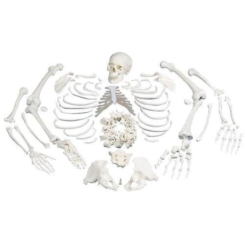 Disarticulated Full Human Skeleton Model