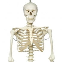 Physiological Human Skeleton Model