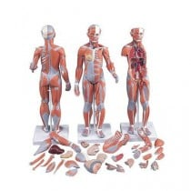 1/2 Life-Size Complete Dual Sex Muscle Model