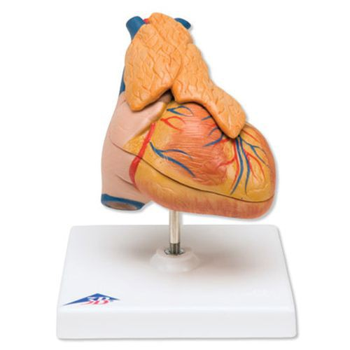 Classic Heart with Thymus Model