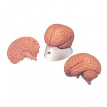 Introductory Brain Model
