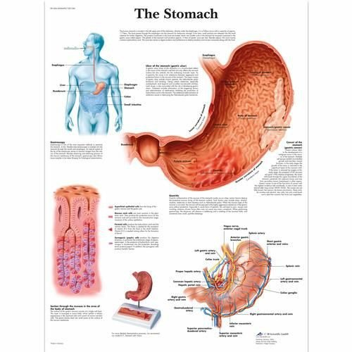 The Stomach Chart