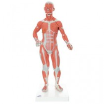 1/3 Life-Size Muscle Figure