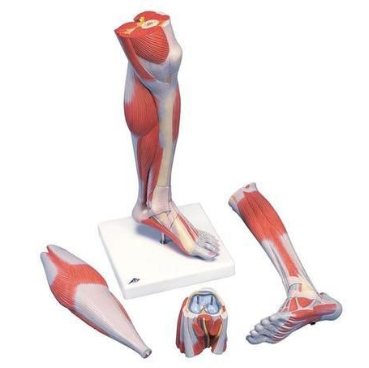Lower Leg Muscle Model